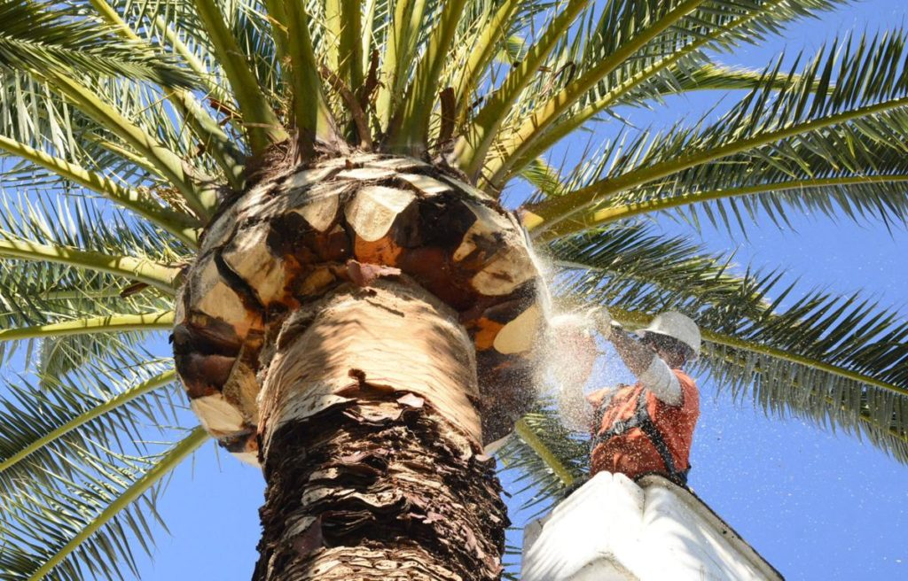 Palm-Tree-Trimming-Bakersfield Tree Trimming and Stump Grinding Services-We Offer Tree Trimming Services, Tree Removal, Tree Pruning, Tree Cutting, Residential and Commercial Tree Trimming Services, Storm Damage, Emergency Tree Removal, Land Clearing, Tree Companies, Tree Care Service, Stump Grinding, and we're the Best Tree Trimming Company Near You Guaranteed!