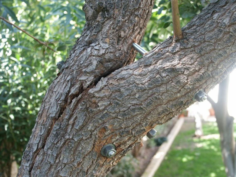 Tree-Bracing-Cabling-Bakersfield Tree Trimming and Stump Grinding Services-We Offer Tree Trimming Services, Tree Removal, Tree Pruning, Tree Cutting, Residential and Commercial Tree Trimming Services, Storm Damage, Emergency Tree Removal, Land Clearing, Tree Companies, Tree Care Service, Stump Grinding, and we're the Best Tree Trimming Company Near You Guaranteed!